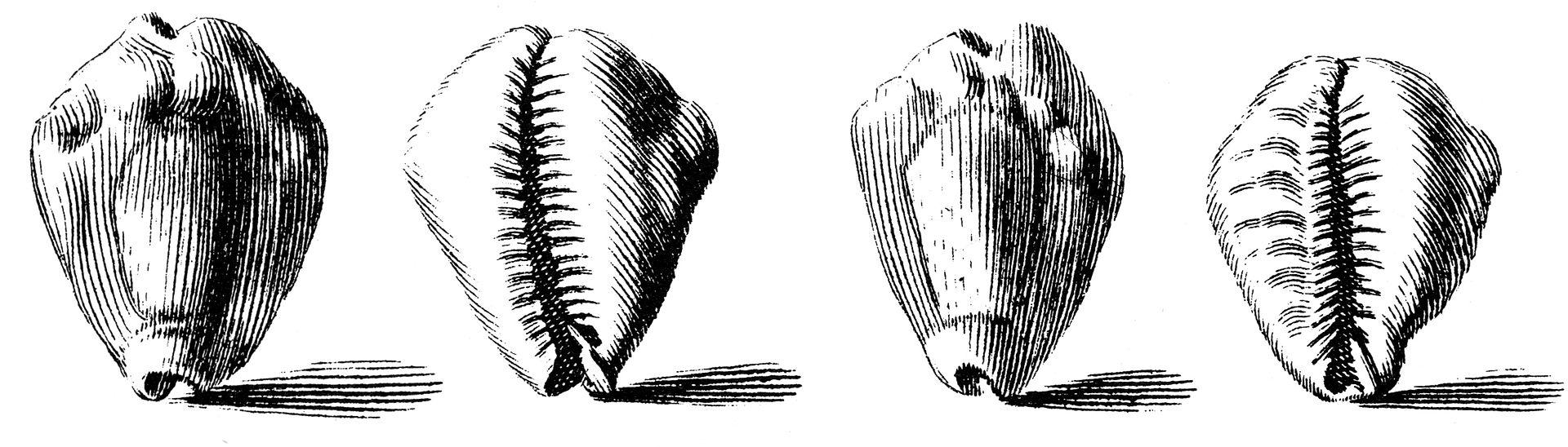 Cypraea-moneta-001
